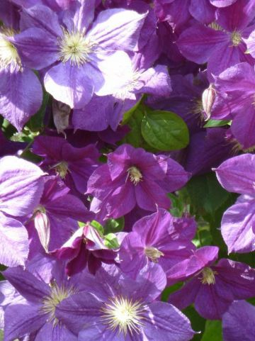Clematis 'Star of India' - Bosdruif, bosrank