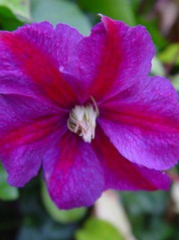 Clematis 'Star of India' - Bosdruif, bosrank