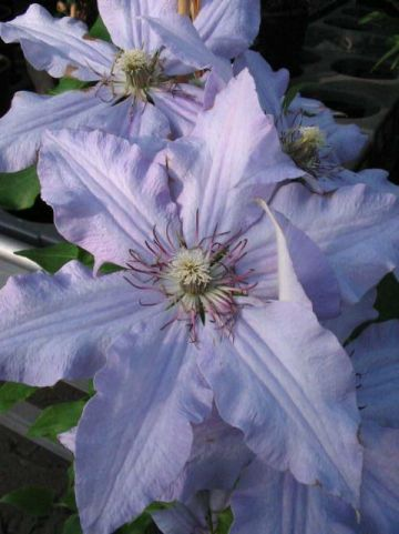Clematis  'The First Lady' - Grootbloemige bosrank
