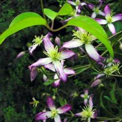 Clematis triternata 'Rubromarginata' - Bosdruif, bosrank
