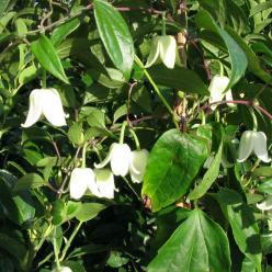 Clematis urophylla 'Winter Beauty' - Groenblijvende bosrank