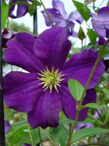 Clematis  'Viola' - Grootbloemige bosrank
