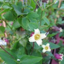 Clematis viorna  - Bosrank