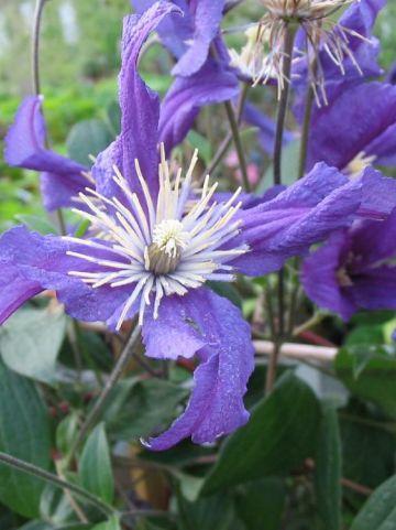 Clematis  'Blue Pirouette' (='Zobluepi') -