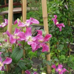 Clematis  'Inspiration' (='Zoin') -