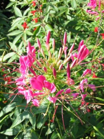 Cleome spinosa - Kattensnor