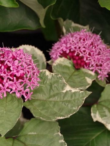 Clerodendrum bungei 'Pink Diamond' - Bontbladige kansenboom