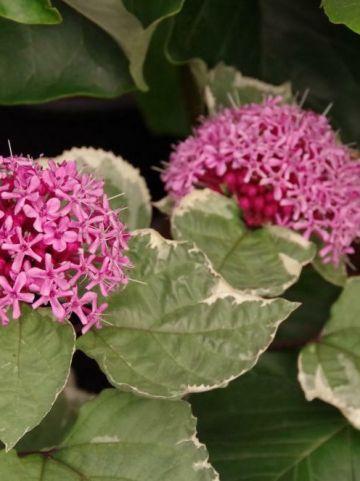 Clerodendrum bungei 'Pink Diamond' - Bontbladige kansenboom