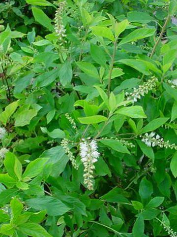 Clethra alnifolia - Schijnels