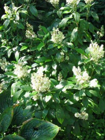 Clethra alnifolia 'Anne Bidwell' - Schijnels