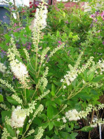 Clethra alnifolia 'Hummingbird' - Schijnels