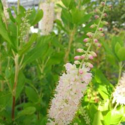 Clethra alnifolia 'Rosea' - Schijnels