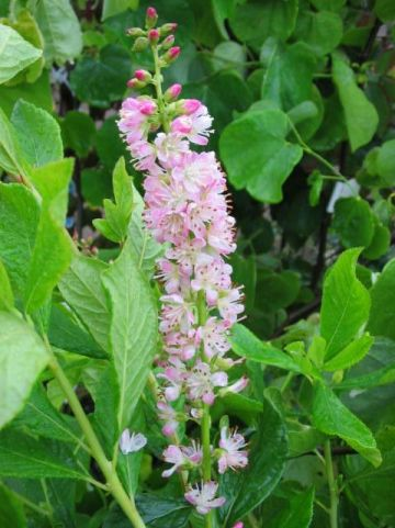 Clethra alnifolia 'Ruby Spice' - Schijnels