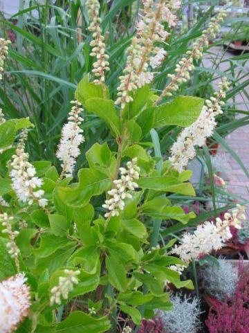 Clethra alnifolia 'September Beauty' - Schijnels