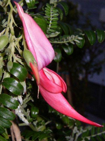 Clianthus puniceus  -