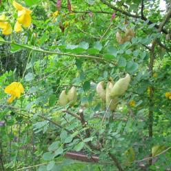 Colutea arborescens  - Blazenstruik