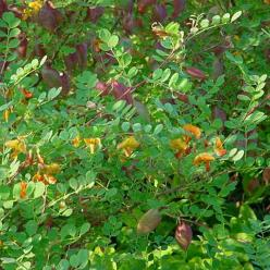Colutea × media  'Copper Beauty' - Blazenstruik