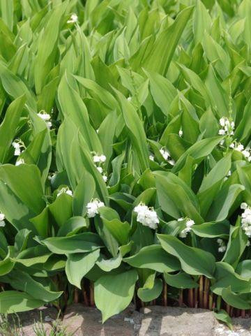 Convallaria majalis  - Lelietje der dalen