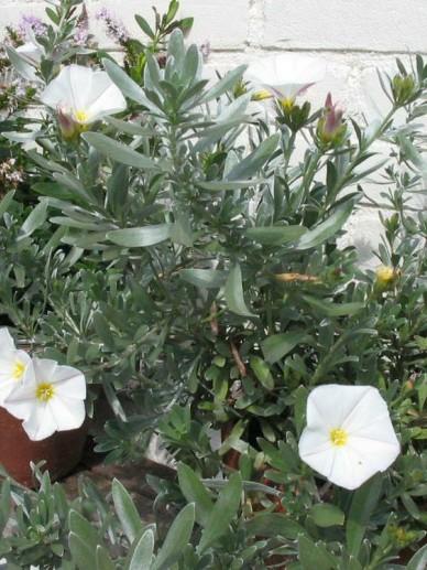 Convolvulus cneorum  - Zilverwinde