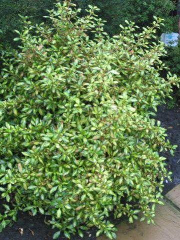Coprosma  'Evening Glow' - Spiegelplant