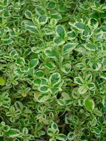 Coprosma repens 'Marble Queen' -