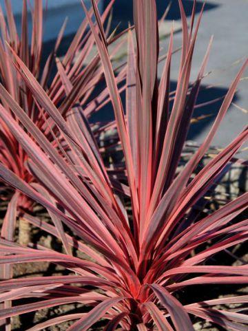 Cordyline australis 'Charley Boy' (='Ric01') -