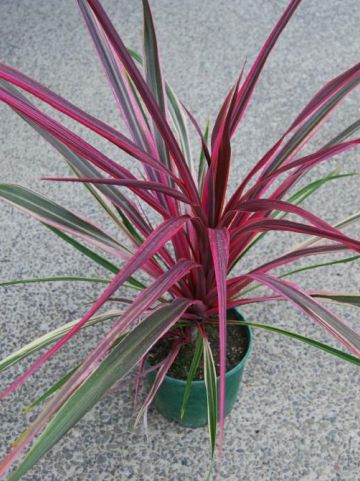 Cordyline  'Can Can' -