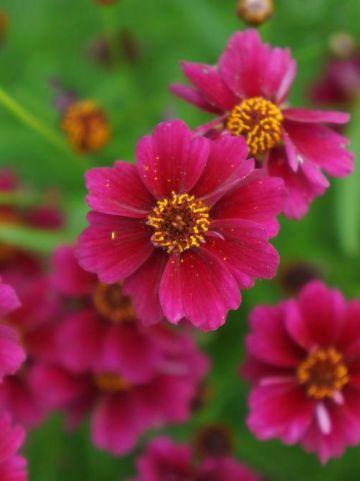 Coreopsis  'Twinklebells Purple' (='Uritw01') - Meisjesogen
