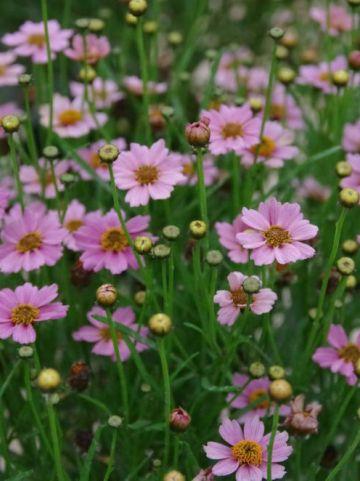 Coreopsis  'Twinklebells Pink' (='Uritw02') - Meisjesogen