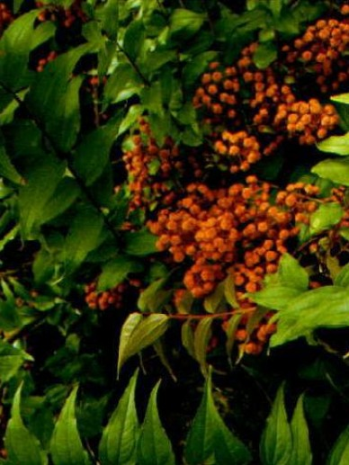 Coriaria japonica  - Looimirte