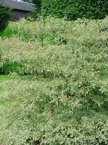 Cornus alternifolia 'Argentea' - Bontebladige kornoelje