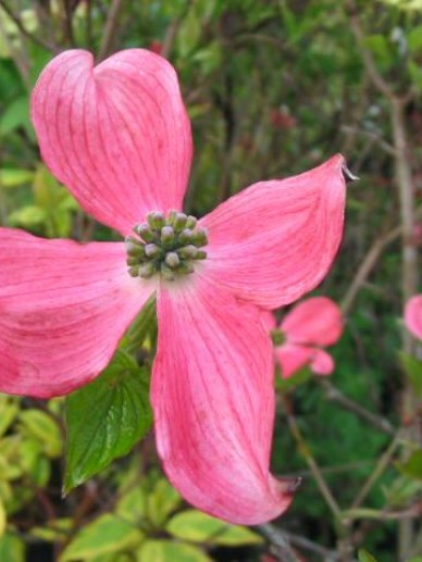 Cornus florida f. rubra - Kornoelje