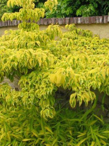 Cornus florida 'Sunset' - Amerikaanse kornoelje