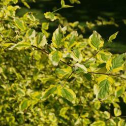 Cornus mas 'Aurea Elegantissima' - Bontbladige gele kornoelje