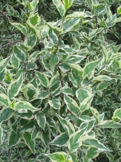 Cornus mas 'Variegata' - Bontbladige gele kornoelje