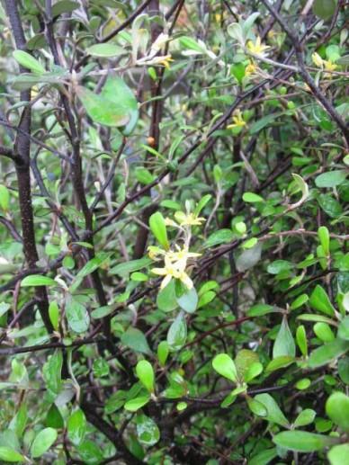 Corokia cotoneaster  - Draadjesstruik