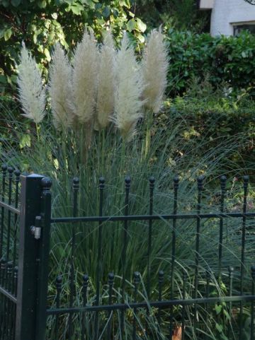 Cortaderia selloana 'Evita' - Dwergpampasgras