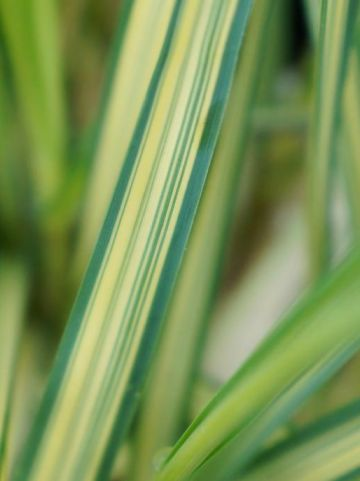 Cortaderia selloana 'Stars and Stripes' - Dwergpampasgras