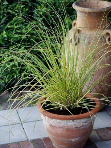 Cortaderia selloana 'Stars and Stripes' - Dwergpampasgras