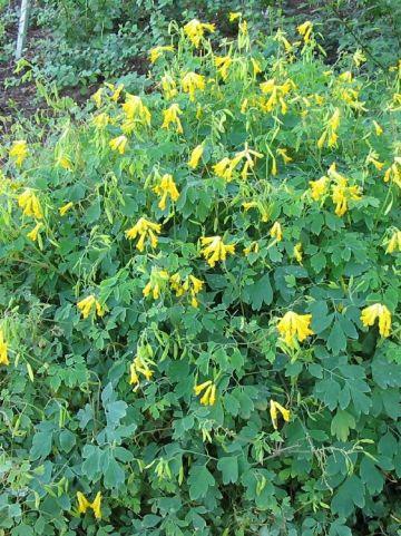 Corydalis lutea - Gele helmbloem