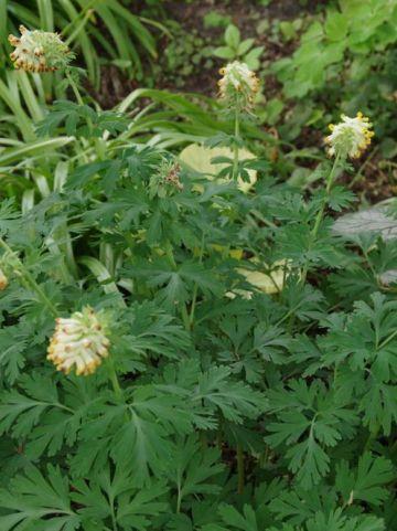 Corydalis nobilis  - Siberische holwortel
