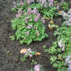 Corydalis solida  - Vogeltje op de kruk , Voorjaarshelmbloem , Vingerhelmbloem