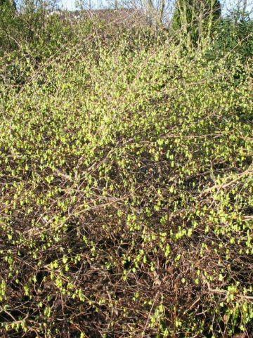 Corylopsis glabrescens 'Lemon Drop' - Schijnhazelaar