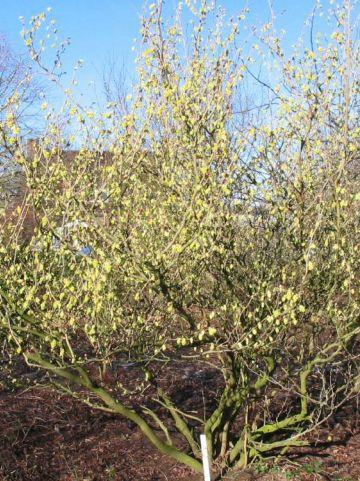 Corylopsis sinensis f. veitchiana  - Schijnhazelaar