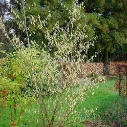 Corylopsis sinensis 'Spring Purple' - Schijnhazelaar