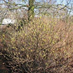 Corylopsis sinensis 'Veitch's Purple' - Schijnhazelaar