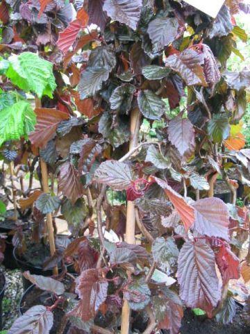 Corylus  'Red Majestic' - Bruinbladige kronkelhazelaar