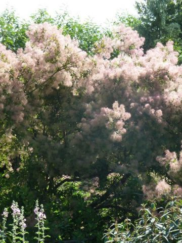 Cotinus coggygria  - Pruikeboom