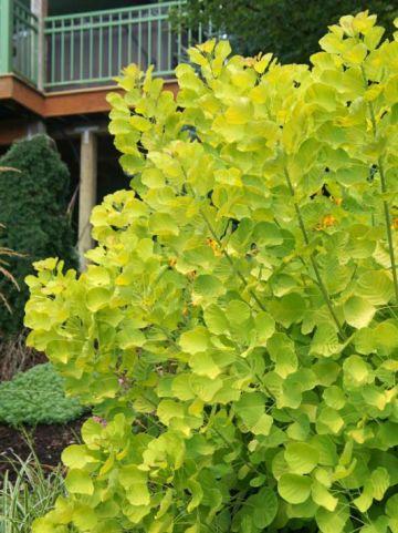 Cotinus coggygria 'Golden Spirit' (='Ancot') - Pruikeboom