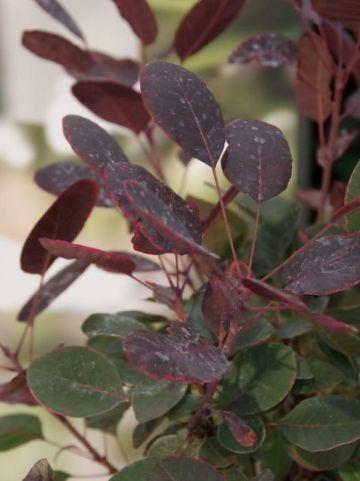 Cotinus coggygria 'Lilla' - Pruikeboom